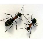 Reading - Ants