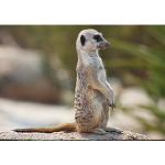 Reading - Meerkats