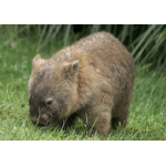 Reading - Council wombat