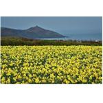 Reading - Daffodils
