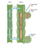 Biology Chapter 5 - Structure and Function of Vascular Plants