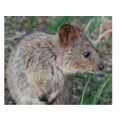 Q is for Quokkas